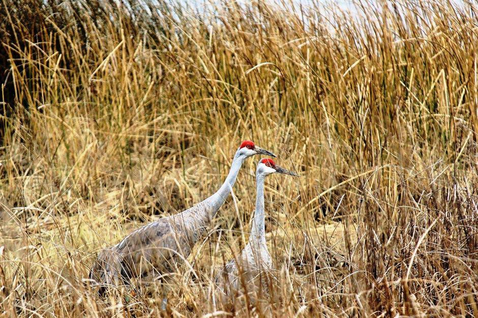 Sandhill Cranes In Epic Oak Grove >> Back To Nature Amazing Animal Encounters In Every State