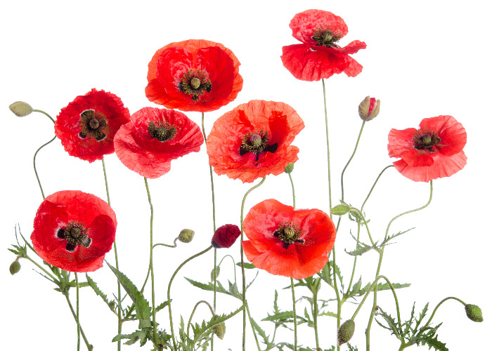 Legion kicks off poppy campaign